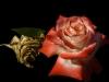 guido-alimento_profumo-di-rosa-3